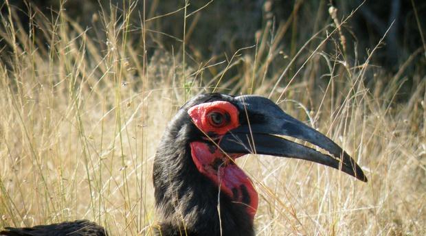 Listening to Ground Hornbills - Wamvenga